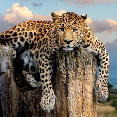 Panthere - mot du glossaire Tête à modeler. Définition et activités associées au mot Panthere.