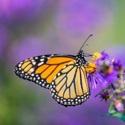 papillon - mot du glossaire Tête à modeler. Définition et activités associées au mot papillon.