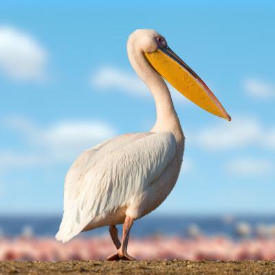 Pelican - mot du glossaire Tête à modeler. Définition et activités associées au mot Pelican.