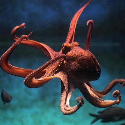 pieuvre - mot du glossaire Tête à modeler. Définition et activités associées au mot pieuvre.
