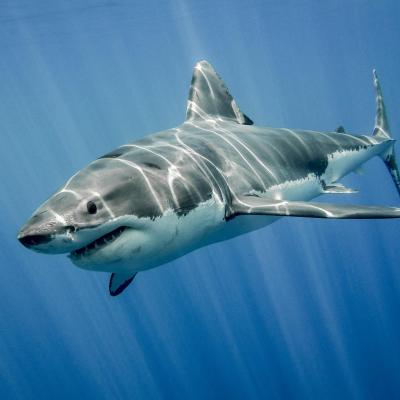 requin - mot du glossaire Tête à modeler. Définition et activités associées au mot requin.