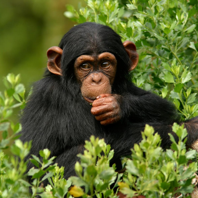 singe - mot du glossaire Tête à modeler. Définition et activités associées au mot singe.
