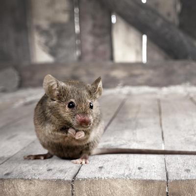 souris - mot du glossaire Tête à modeler. Définition et activités associées au mot souris.