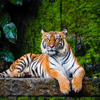 tigre - mot du glossaire Tête à modeler. Définition et activités associées au mot tigre.