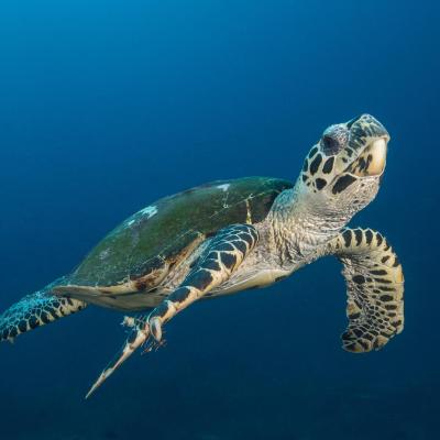 tortue - mot du glossaire Tête à modeler. Définition et activités associées au mot tortue.