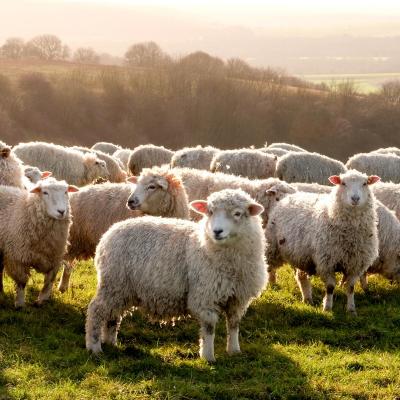 troupeau - mot du glossaire Tête à modeler. Définition et activités associées au mot troupeau.