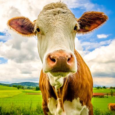 vache - mot du glossaire Tête à modeler. Définition et activités associées au mot vache.