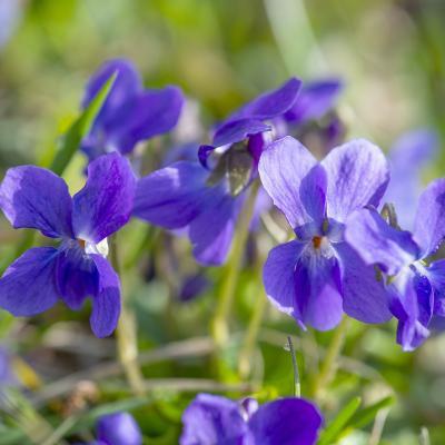 violette - mot du glossaire Tête à modeler. Définition et activités associées au mot violette.